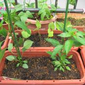 病害虫に強い品種の苗を探して、無農薬栽培をめざそう!